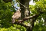 Observe the British Buzzard Hawk in the Tamar Valley