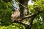 Observe the British Buzzard Hawk in the Tamar Valley