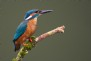 Ornithologists spot the splendid sights of the glistening blue Kingfisher