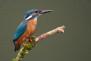 Ornithologists spot the splendid sights of the glistening blue Kingfisher