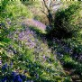 Get lost in the bluebell woods