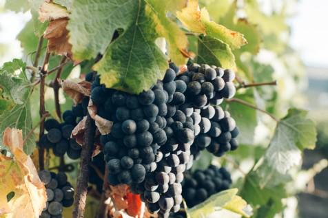 Gwinllan Conwy Vineyard